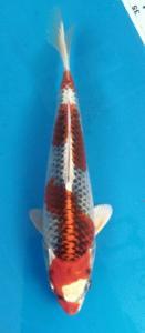 182-Duta - Blitar - ZNA Blitar - Blitar - Hikari moyomono - 22 cm - Male