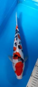 476-Barok-bandung-66koi-tulungagung-taiso shanshoku-30cm-male