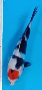 233-Duta - Blitar - ZNA Blitar - Blitar - Tancho - 15 cm - Female