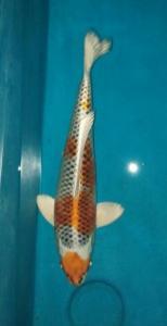 672-Jopie Julianto - Sidoarjo - basudhev koi - Surabaya - kujaku 40cm - male