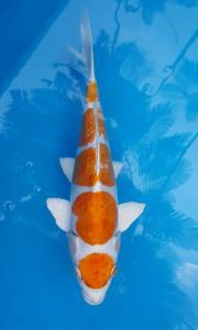 347-Hapsaro koi-tangerang-Plat Ag Koi -Kediri -hikarimoyomono-30cm-male