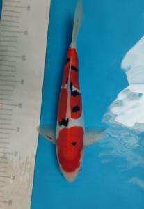 297-Pusaka koi-malang-mnc-malang-doitsu-35cm-male
