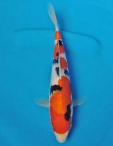 369-Hendra kurniawan-blitar-pagcom koi-bandung-sanke 23cm
